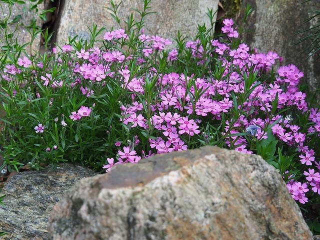 kvetoucí rostlina mezi kameny