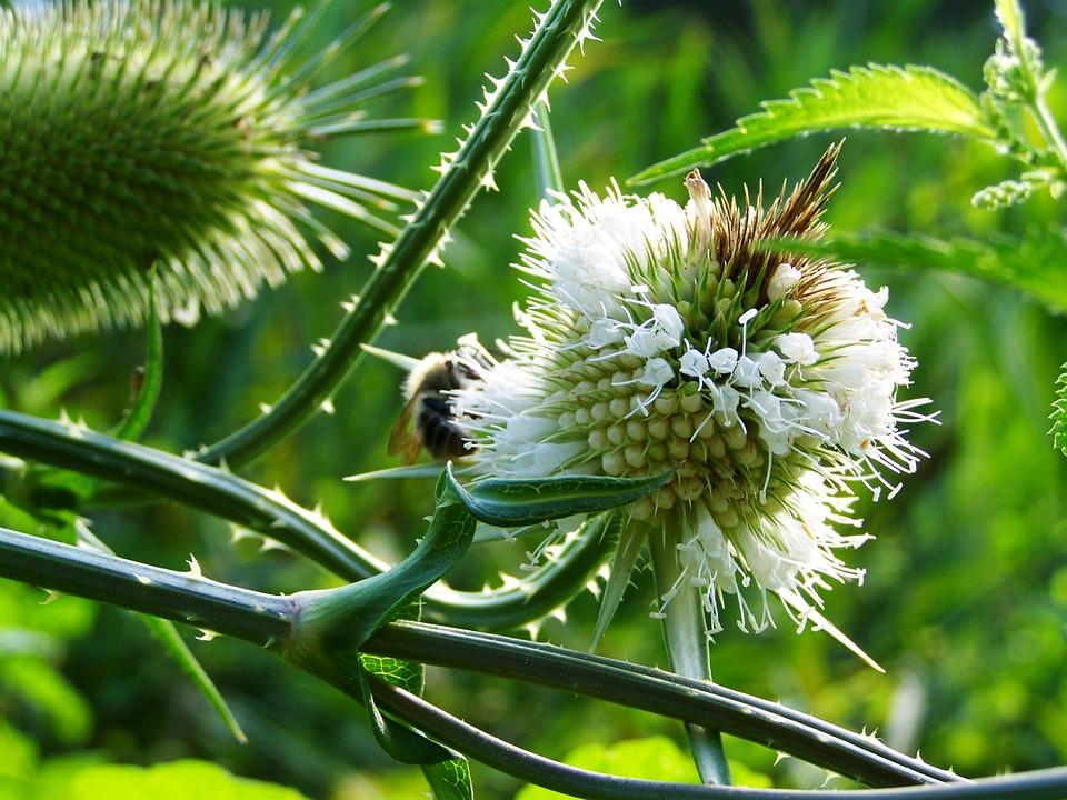 květ ostropestřce