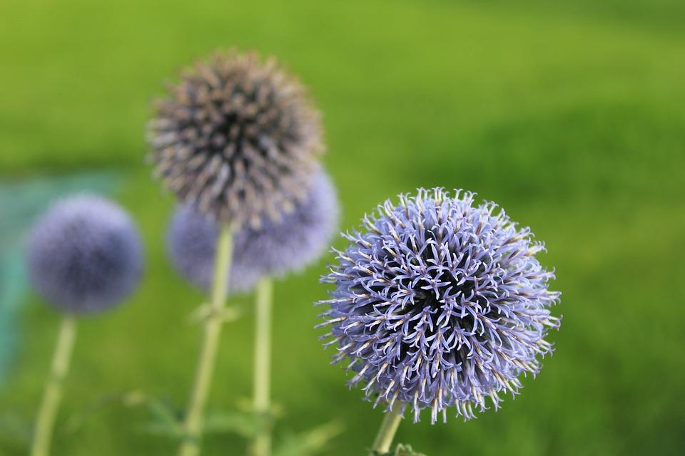 kvetoucí ostropestřec